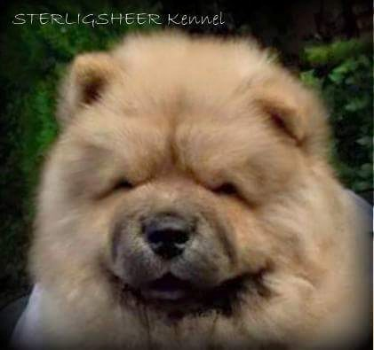 8 week old - Photo: Sterlingsheer Kennel
