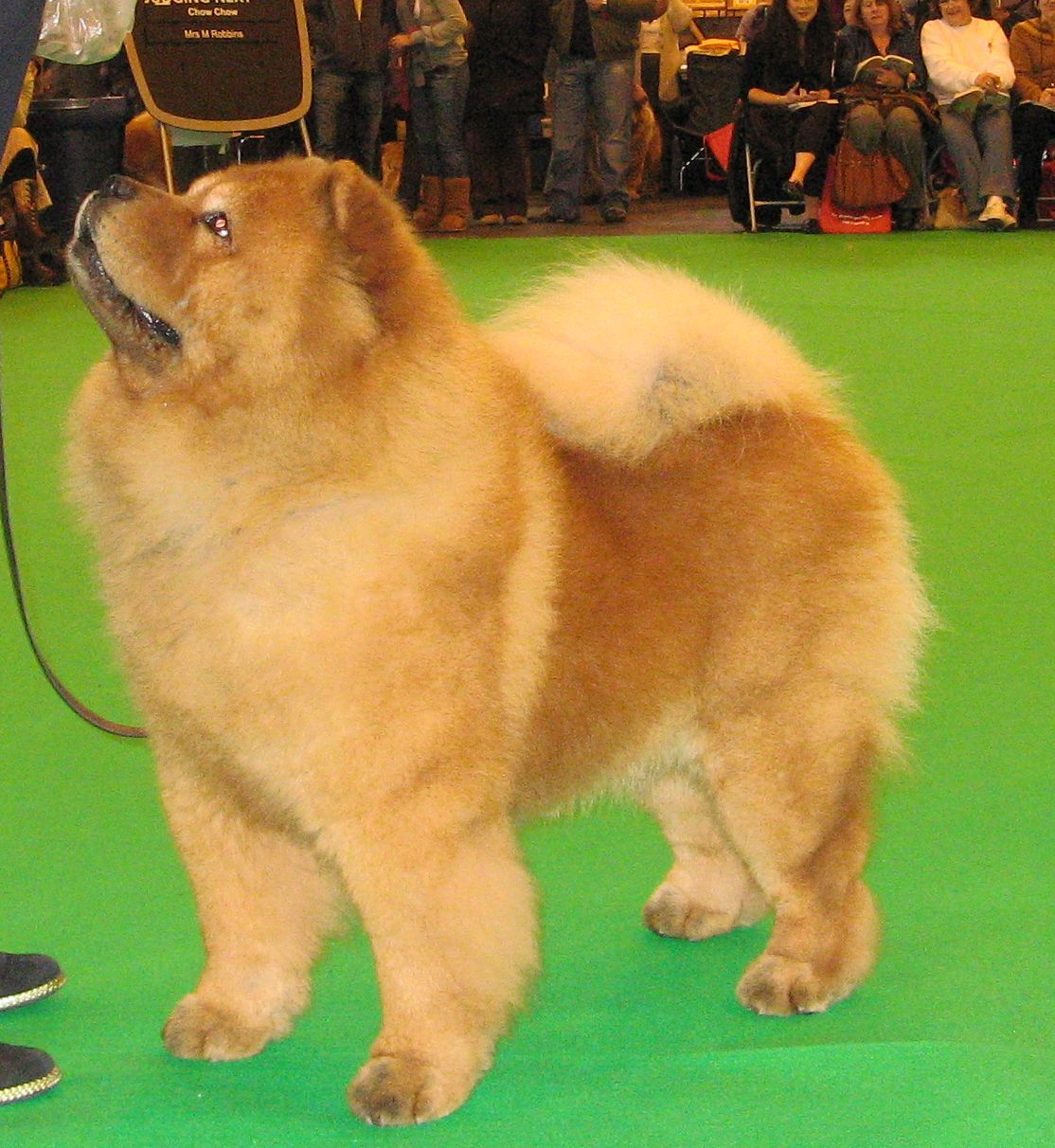 Best veteran dog CH Shiyue Starman At Miketilla