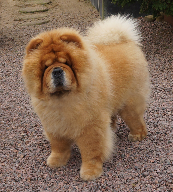 Chan-Lo's Day Tripper (sire of Knut and Tore)