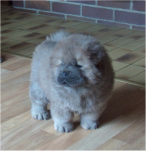 Elton John Of Chow Dream (7 week)-Quick Step son