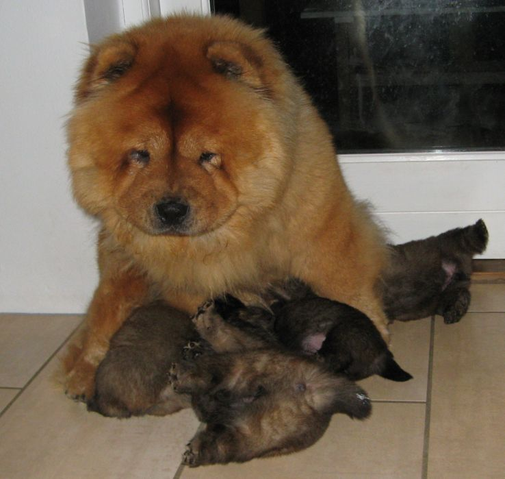 Stagebo´s Touch Of Class and her 3 week old puppies