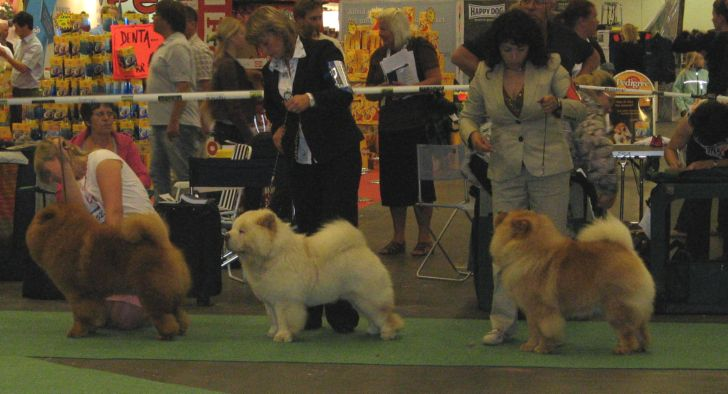 Competition for Res.WW08+Res.Cacib males 1. CH Elected Tauras Cunami